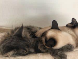 Blogbeitrag Einzelkatze oder Mehrkatzenhaushalt