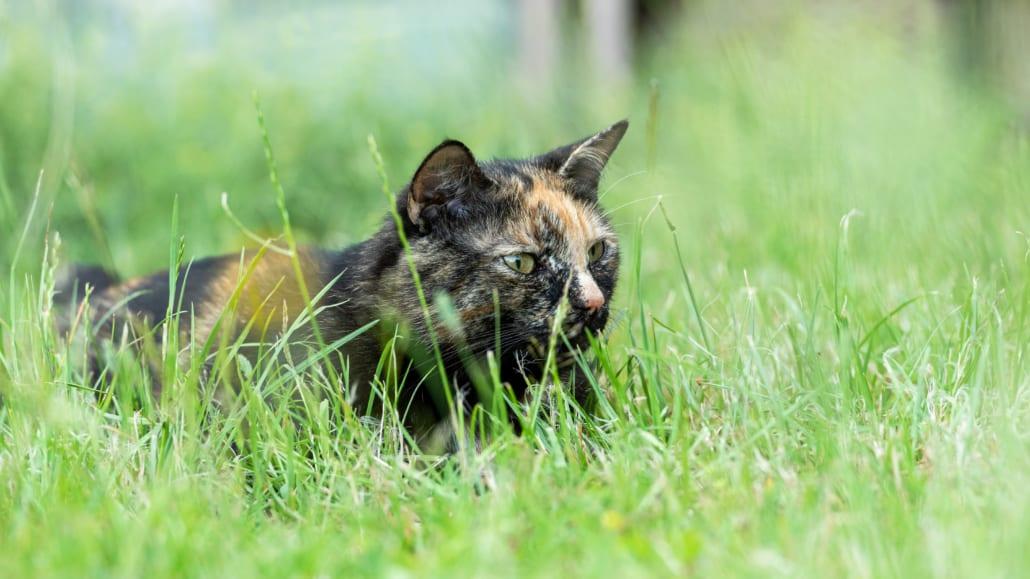 Gesunde BARF Katze liegt im Gras