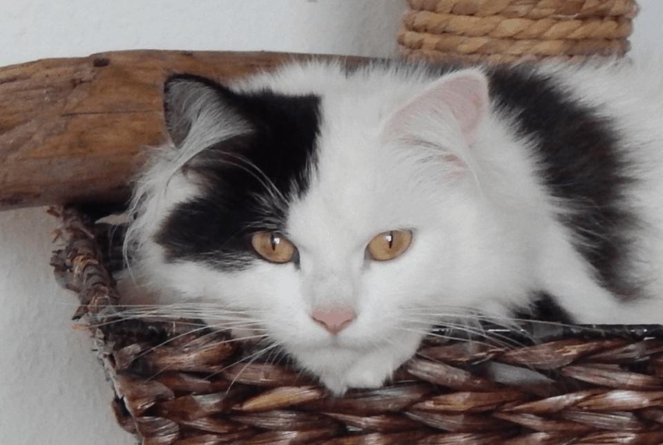 Barf Katze Flauschi auf Kratzbaum