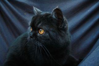Foto von BKH Katze Bandit